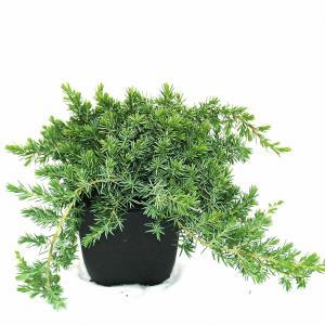 Kruipende jeneverbes (Juniperus conferta Blue Pacific) conifeer