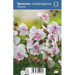 Ooievaarsbek (geranium cantabrigiense Biokovo) schaduwplant - 12 stuks