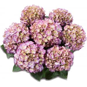 Hydrangea Macrophylla Classic® Adula Blue® boerenhortensia