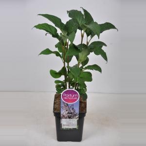 Sering (syringa villosae Telimena) - 30-50 cm - 1 stuks