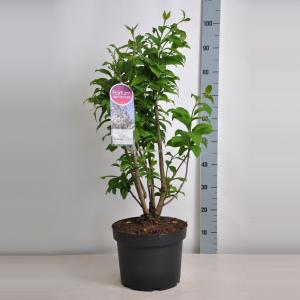 Sering (syringa villosae Telimena) - 70-90 cm - 1 stuks