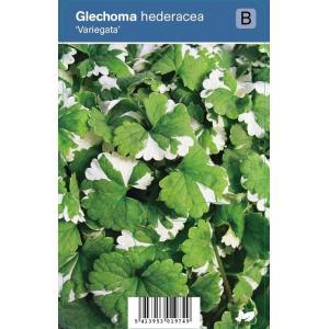 Hondsdraf (glechoma hederacea Variegata) schaduwplant - 12 stuks