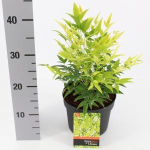 "Hemelse bamboe (Nandina domestica ""Lemon and Lime""®) heester - 25-30 cm - 6 stuks"