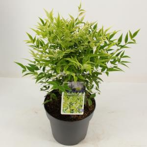 "Hemelse bamboe (Nandina domestica ""Lemon and Lime""®) heester - 25-30 cm - 9 stuks"