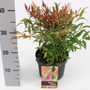 "Hemelse bamboe (Nandina domestica ""Tuscan Flame""®) heester - 20-30 cm - 6 stuks"