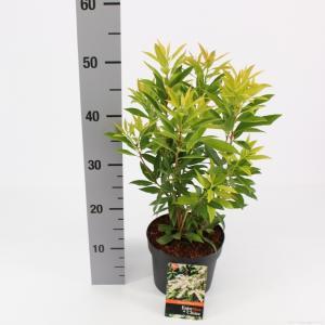 """Rotsheide (Pieris Japonica """"Brouwers Beauty"""") heester - 25-30 cm (C2) - 6 stuks"""