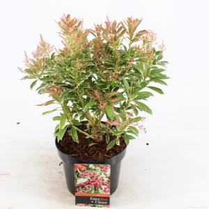 "Rotsheide (Pieris Japonica ""Ralto"" PBR) heester - 20-25 cm (C2) - 6 stuks"