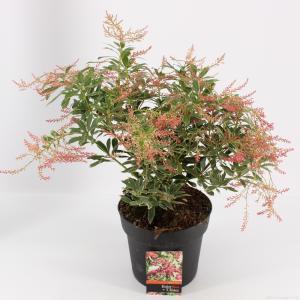 "Rotsheide (Pieris Japonica ""Ralto"" PBR) heester - 30-40 cm (C4.5) - 9 stuks"