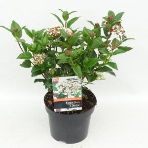 """Sneeuwbal (Viburnum tinus """"Lucidum"""") heester - 20-25 cm (C2) - 6 stuks"""