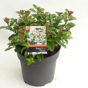 """Sneeuwbal (Viburnum tinus """"Lucidum"""") heester - 30-40 cm (C4.5) - 9 stuks"""
