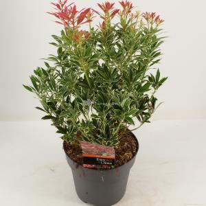 "Rotsheide (Pieris Japonica ""Polar Passion"" PBR) heester - 30-40 cm (C4.5) - 9 stuks"
