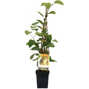 Kiwi (actinidia chinensis Jenny) fruitplanten