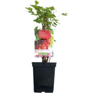 Rode bes (ribes rubrum Rolan) fruitplanten