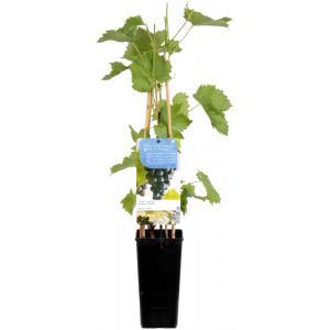 Blauwe druif (vitis vinifera Muscat Blue) fruitplanten