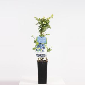 Bosbes (vaccinium corymbosum Jersey) fruitplanten - In 2 liter pot - 1 stuks