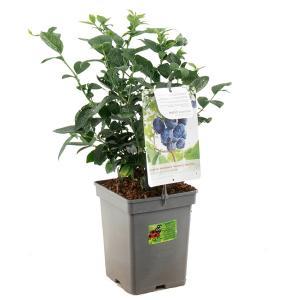 Bosbes (vaccinium corymbosum Jersey) fruitplanten - In 5 liter pot - 1 stuks