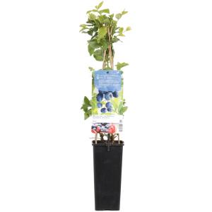 Bosbes (vaccinium corymbosum Duke) fruitplanten