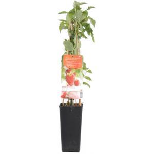 Herfstframboos (rubus idaeus Himbo Top) fruitplanten