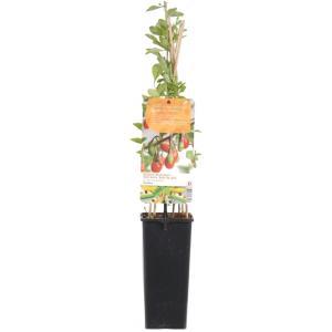 Gojibes (Lycium Barbarum Gojibes) fruitplanten