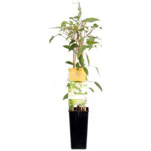 Kiwibes (actinidia arguta Weiki) fruitplanten