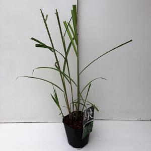 Prachtriet (Miscanthus sinensis Giganteus) siergras