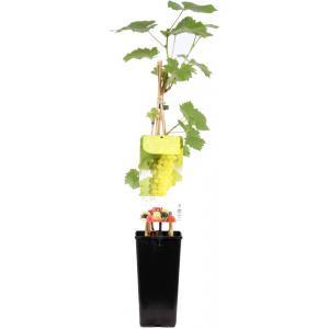 Witte druif (vitis vinifera Solaris) fruitplanten