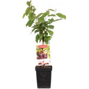 Kersenboom (prunus avium Regina) fruitbomen