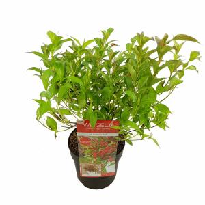 Weigela Florida struik All Summer Red - 3 stuks