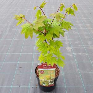 """Japanse esdoorn (Acer circinatum """"Burgundy Jewel"""") heester"""