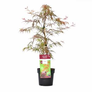Japanse esdoorn (Acer palmatum Garnet Tower) heester