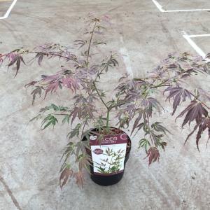 Japanse esdoorn (Acer palmatum Manyo-no-sato) heester