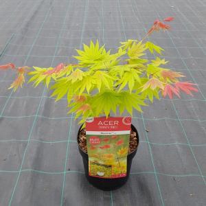 Japanse esdoorn (Acer shirasawanum Moonrise) heester