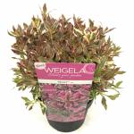 Weigela Florida struik Monet