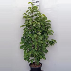 Magnolia struik Galaxy - 160 - 180 cm - 1 stuks