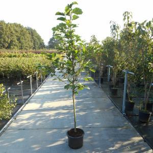 Magnolia struik Galaxy - 175 - 200 cm - 4 stuks