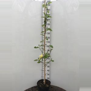 Magnolia struik Daphne - 150 - 175 cm - 1 stuks