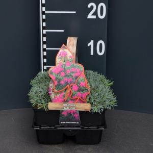 Steenanjer (dianthus gratianopolitanus Babi Lom) bodembedekker - 4-pack - 1 stuks