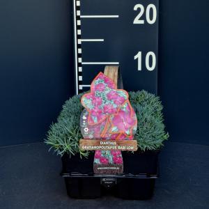 Steenanjer (dianthus gratianopolitanus Babi Lom) bodembedekker - 6-pack - 1 stuks
