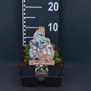 Steenbreek (saxifraga arendsii Carpet White) bodembedekker - 6-pack - 1 stuks