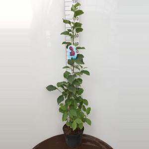 Magnolia struik Genie - 160 - 180 cm - 1 stuks