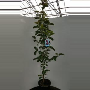 Magnolia struik Genie - 175 - 200 cm - 1 stuks