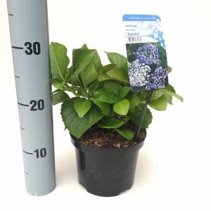 Hydrangea Macrophylla Ayesha boerenhortensia