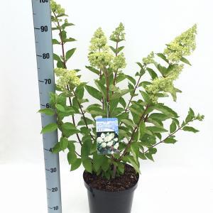 Hydrangea Paniculata Grandiflora pluimhortensia - 60-65 cm - 1 stuks