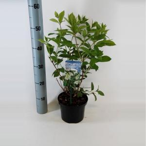 Hydrangea Paniculata Tardiva pluimhortensia - 30-40 cm - 1 stuks