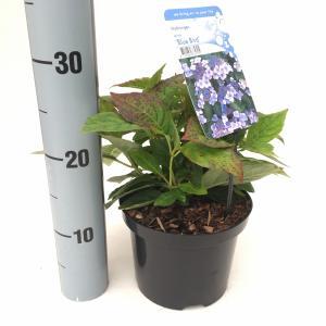 Hydrangea Serrata Blue Bird berghortensia