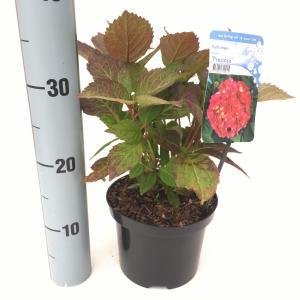 Hydrangea Serrata Preziosa berghortensia
