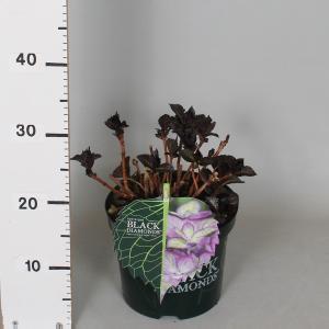 Hydrangea Macrophylla Black Diamond® Baroque Angel Blue® boerenhortensia - 30-40 cm - 1 stuks
