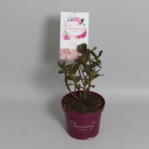 Hydrangea Macrophylla Charming® Claire Pink® boerenhortensia - 25-30 cm - 1 stuks