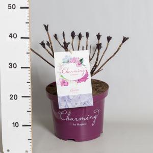 Hydrangea Macrophylla Charming® Claire Blue® boerenhortensia - 30-40 cm - 1 stuks