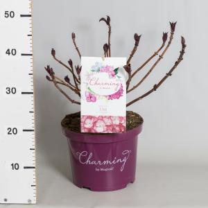 Hydrangea Macrophylla Charming® Lisa Pink® boerenhortensia - 30-40 cm - 1 stuks